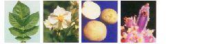 Fresh Kufri Lauvkar Potato