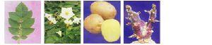 Fresh Kufri Pukhraj Potato