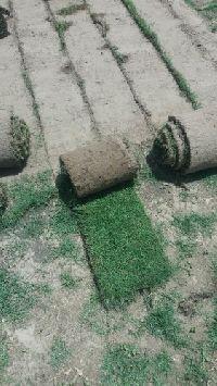 Natural Nilgiri Grass