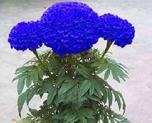Blue Marigold Flowers