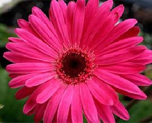 Dark Pink Gerbera Flowers
