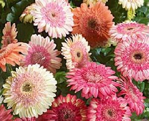 Double Color Gerbera Flowers