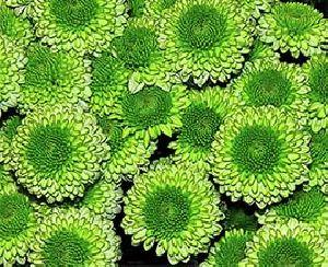 Green Button Chrysanthemum