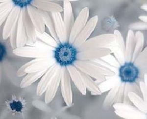 Half White Gerbera Flowers