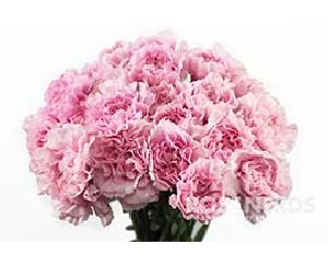 Light Pink Carnation