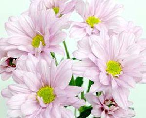 Light Pink Chrysanthemum