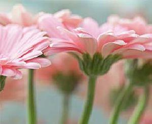Light Pink Gerbera Flowers