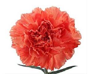 Orange Carnation Flowers