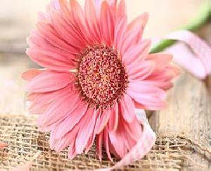 Peach Gerbera Flowers