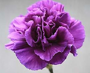 Purple Carnation Flowers