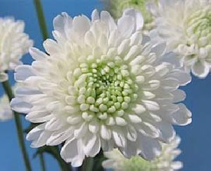 White Button Chrysanthemum Flowers