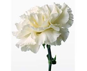 White Carnation Flowers