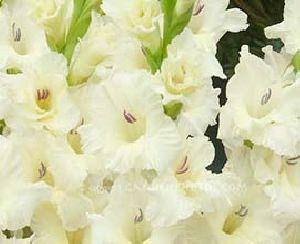 White Gladiolus Flowers