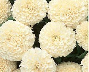 White Marigold Flowers