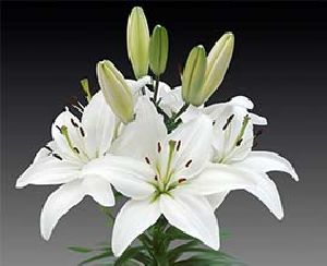 White Oriental Lily Flowers