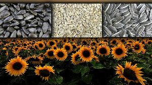 Sunflower Seed