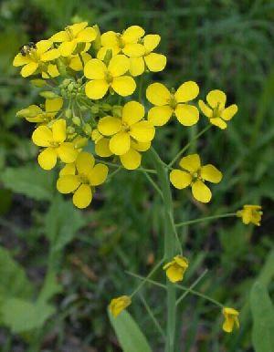 UNNAT SEEDS - Mustard Seeds