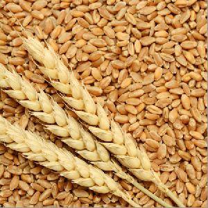 HD-2733 Wheat Seeds