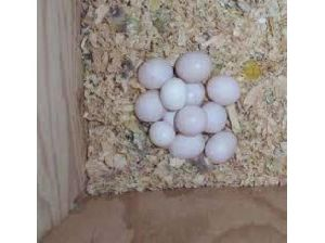 CAIQUE parrot,FERTILE AFRICAN GREY EGGS AND CHICKS FOR SALE
