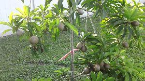 Chiku Plants