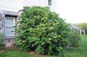 Common Fig Plants