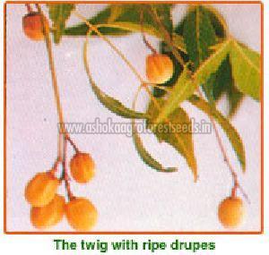 Azadirachta Indica Seeds
