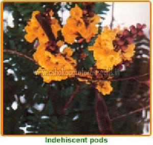 Peltophorum Pterocarpum Seeds