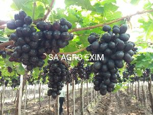 Black Sharad Seedless Grapes