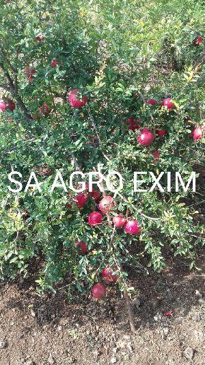indian pomegranates