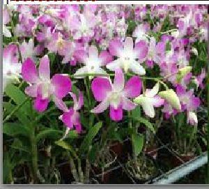 Dendrobium Flower Seeds