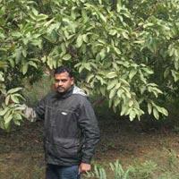 Guava L-49 Plant