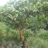Guava Lalit Plant
