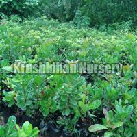 Cashew Plants