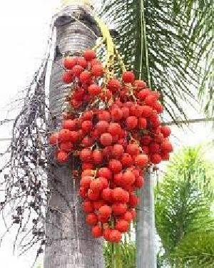 Raw Betel Nuts