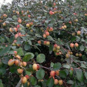 Red Apple Ber Plants