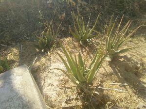 Aloe Vera Leaf