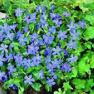 Fresh Periwinkle Flowers