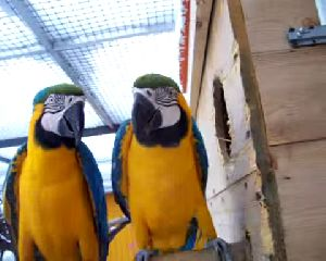 African gray, macaw, cockatoo, amazon, fertile eggs available