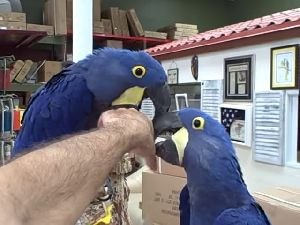 we have all type of macaw,cockatoo, gray,amazon and other birds available