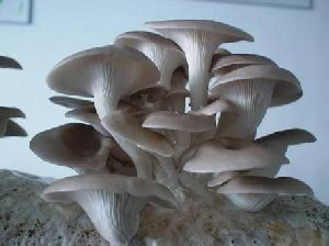 Fresh Oyster Mushrooms