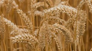 Barley Wheat Seeds