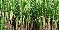 Sugar Plant