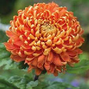 Fresh Chrysanthemum Flower