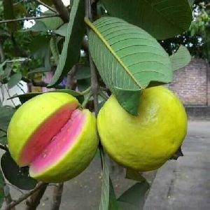 3014118e9 Guava Plant in Maharashtra - Manufacturers and Suppliers India