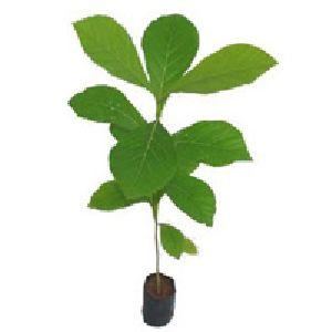 Teak Plants