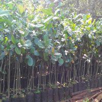 Cashew Nut Plants