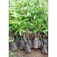 Kesar Mango Plants