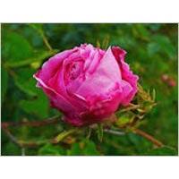 Rosa Centifolia Common Name