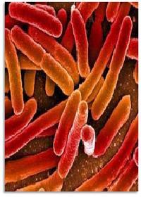 Probiotic Strains