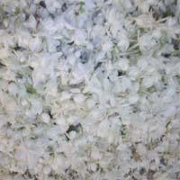 Jasmine Oil (bela)